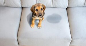 dog pee on sofa
