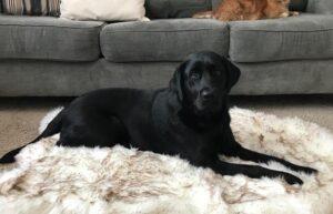 remove dog hairs on carpet